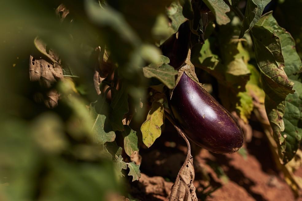 Plantação de agricultores no Distrito Federal é monitorada por aplicativo da UnB.  — Foto: Raimundo Sampaio/Divulgação