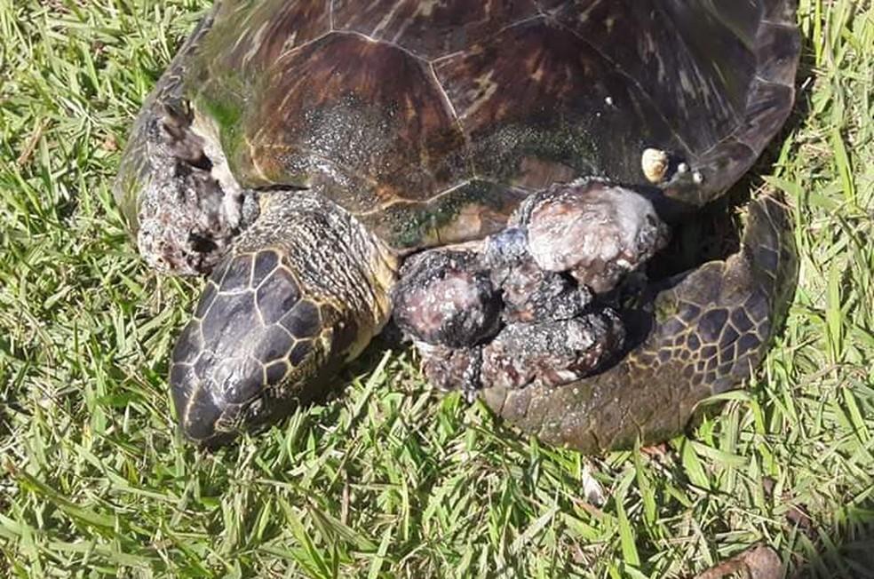 Voluntária resgatou tartaruga debilitada e com sinais de doença em Santos, SP — Foto: Arquivo Pessoal