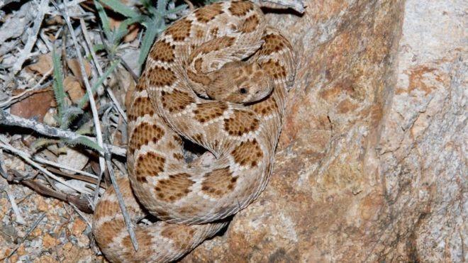 Por que ilhas desertas são dominadas por cobras