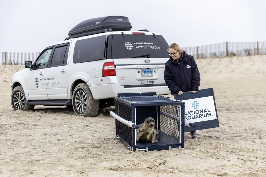 Cuidadora liberta a foca Amélia Bedélia na praia em Salisbury, Maryland, nos EUA, ao ser reinserida na natureza após 3 semanas de reabilitação — Foto: Theresa Keil/The National Aquarium via AP