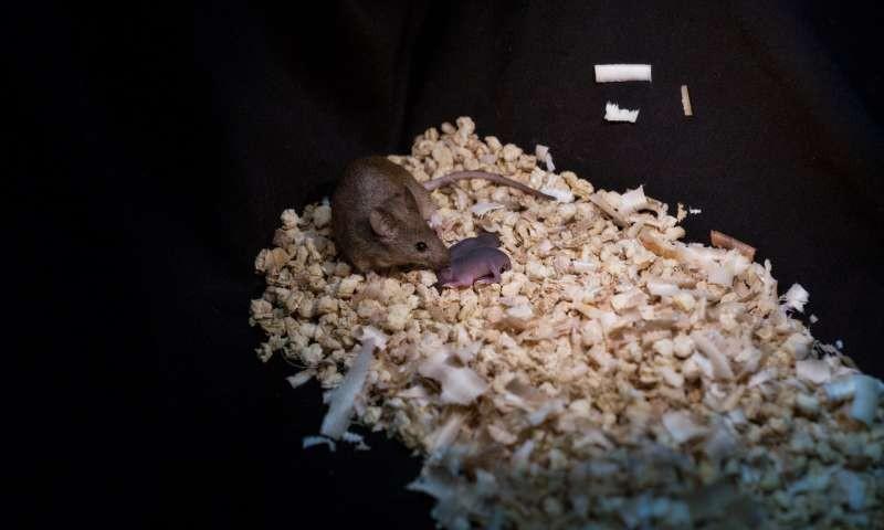 Ratinha nascida no processo aplicado em duas fêmeas (Foto: Reprodução/Leyun Wang)
