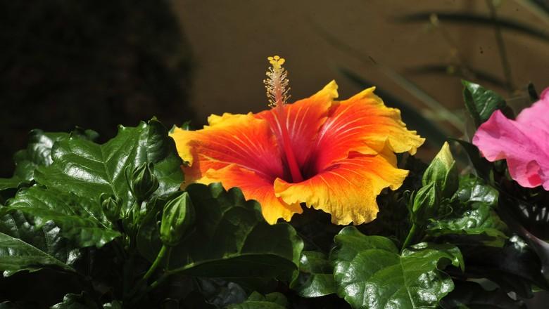 flores-hibisco-praga (Foto: Ernesto de Souza / Editora Globo)