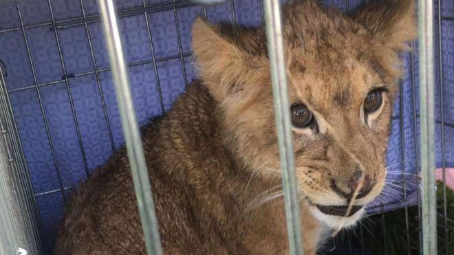 Este filhote de leão foi encontrado abandonado em cidade na Holanda recentemente (Foto: AFP via BBC News Brasil)