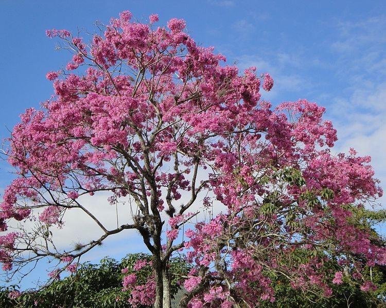 ipe-iperosa-rosa-arvore (Foto: João Medeiros/Wikimedia Commons)
