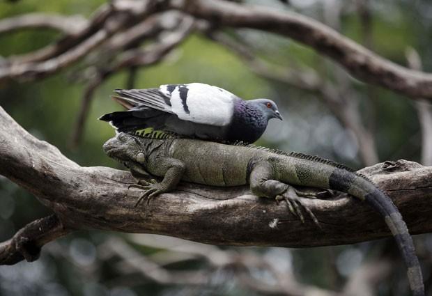 Um pombo pousa sobre uma iguana em parque no Equador (Fot AP Photo/Dolores Ochoa)