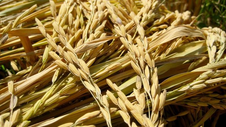 arroz-colhido-grao-cereal (Foto: Dan Mitler/CCommons)