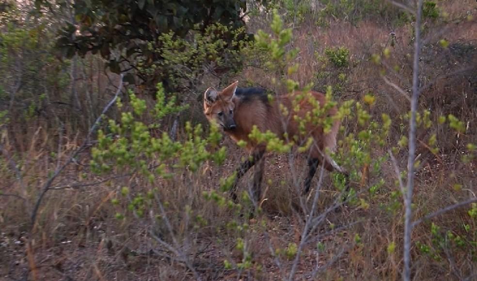 Loba-guará Dama é devolvida à natureza após dois anos sob cuidados do Zoológico de Brasília; ela havia sido atropelada — Foto: Zoológico de Brasília/ Divulgação