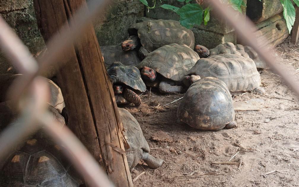 Jabutis no no centro de recuperação: é comum o abandono desse animais — Foto: Deslange Paiva/G1