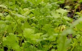 Horta em casa: aprenda a plantar coentro
