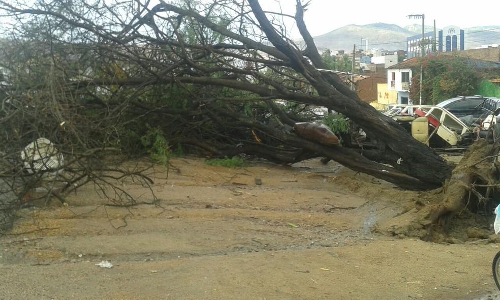 Árvore caiu após ventos e chuvas em Toritama (Foto: Reprodução/WhatsApp TV Asa Branca)