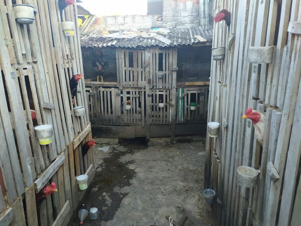 Galos encontrados presos no local onde foi feita a apreensão — Foto: Polícia Militar/ Divulgação