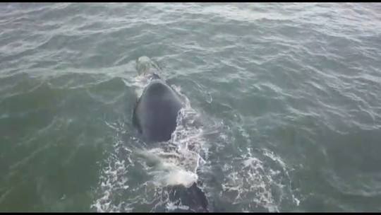 Morador flagra baleia e filhote em Matinhos; veja imagens