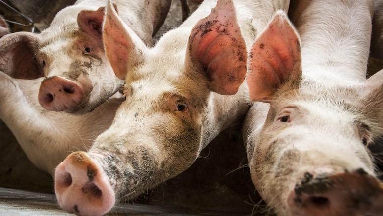 porco-exportacao-suino (Foto: Marcelo Curia/Editora Globo)