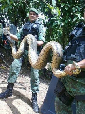 Cobra foi captura (Fot Batalhão Ambiental/divulgação)