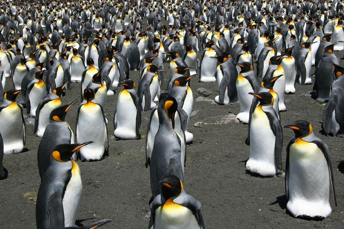 População de pinguins-rei (Foto: Divulgação)