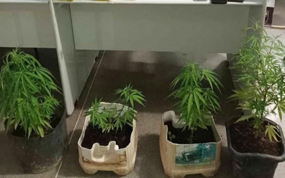 Pés de maconha encontrados em pontos de distribuição de drogas na Bahia — Foto: Divulgação/SSP-BA