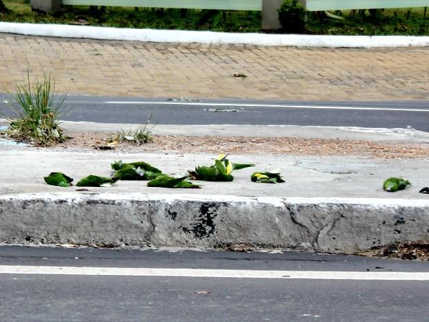 Órgãos realizam ação de conscientização para evitar mortes de periquitos em avenida de Manaus - Noticias