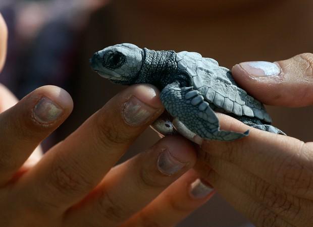 Soltura de filhotes de tartarugas em Aracaju será transmitida pela internet nesta terça-feira