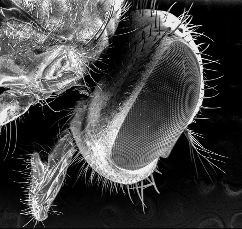 Pesquisadores usaram microscópio eletrônico para encontrar células e partículas bacterianas no corpo da mosca. Na imagem,  microscópio eletrônico capturou em detalhes a cabeça do inseto.  (Foto: Ana Junqueira e Stephan Schuster)