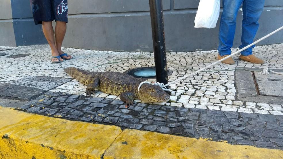 Jacaré foi resgatado pelo Cipoma (Foto: Wanessa Andrade/TV Globo)
