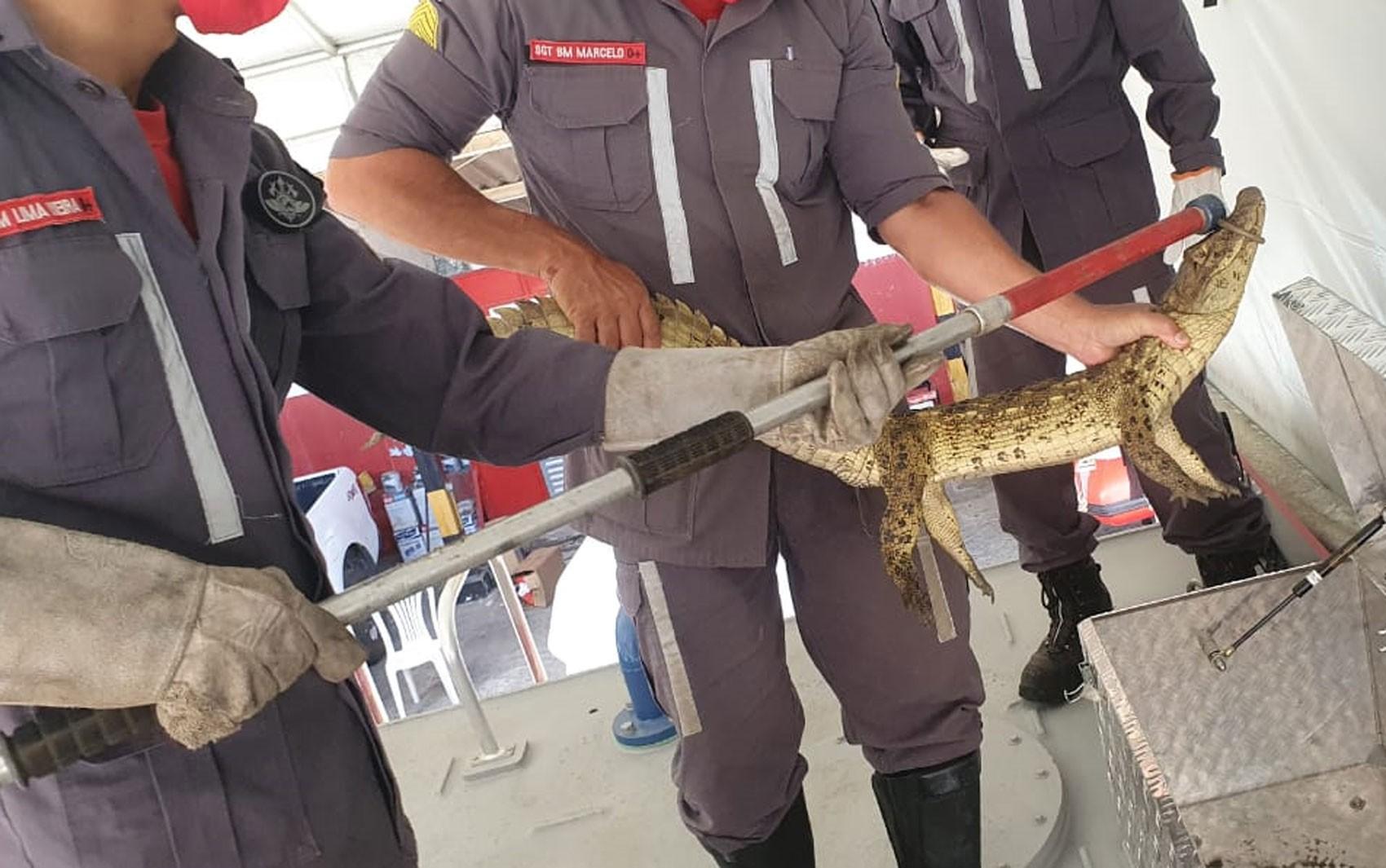 Bombeiros capturam filhote de jacaré em sítio no interior da Bahia; veja