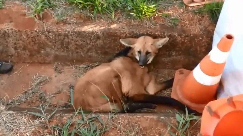 O lobo-guará encontrado atropelado em rodovia da região não resistiu e morreu: