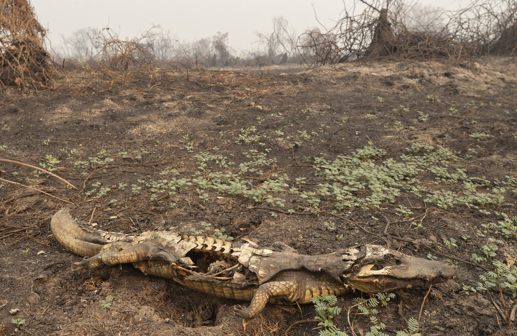 14 de setembro - Restos mortais de um jacaré são vistos após incêndio florestal no Parque Estadual Encontro das Águas, no Pantanal, perto de Poconé, Mato Grosso — Foto: Andre Penner/AP