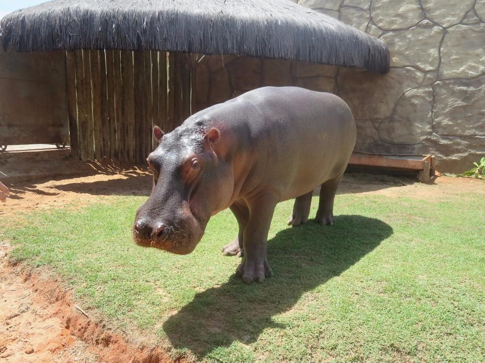 O hipopótamo Yago está atualmente no Aquário de Natal — Foto: Andréa Tavares/G1