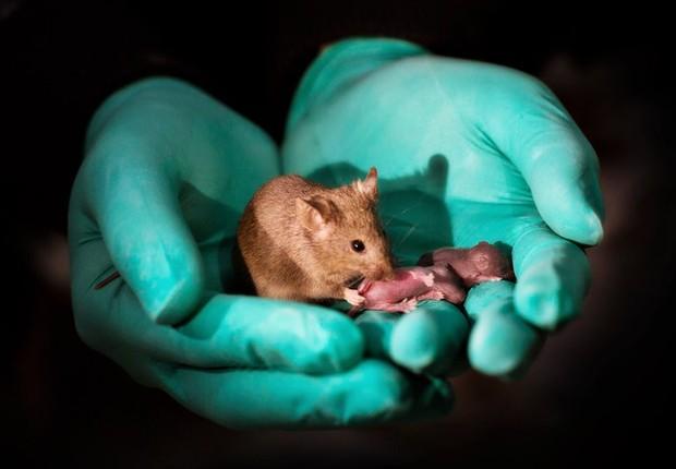 Pesquisadores chineses recorreram a células-tronco embrionárias - e à manipulação genética - para realizar o estudo em laboratório (Foto: Leyun Wang/Divulgação)