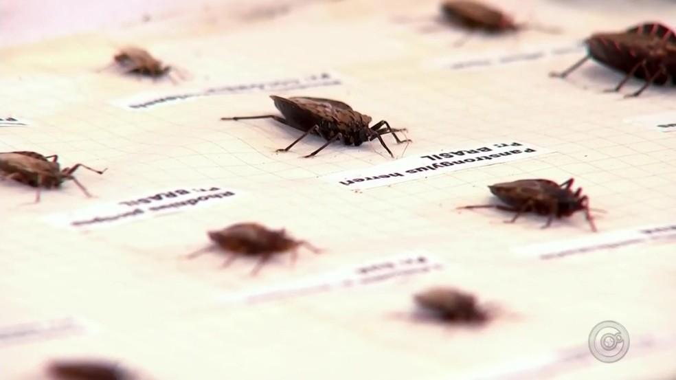 Parasita da Doença de Chagas foi encontrado no açaí (Foto: TV TEM/Reprodução)