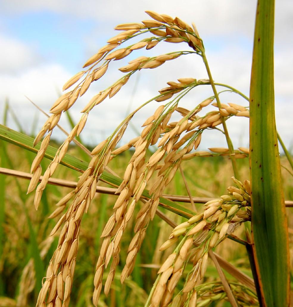 Produção de arroz em casca deve ter queda de 21,7% (Foto: Sedec-MT/Divulgação)
