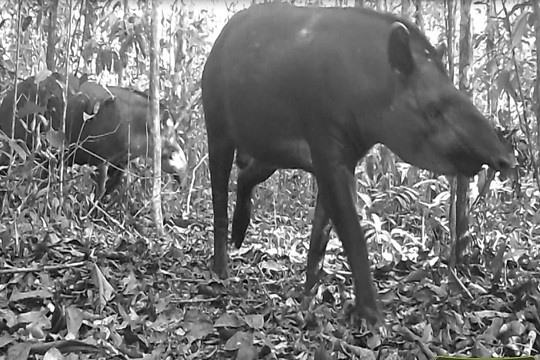 Pesquisa da Ufopa com armadilhas fotográficas revela mamíferos de médio e grande porte da Flona Tapajós