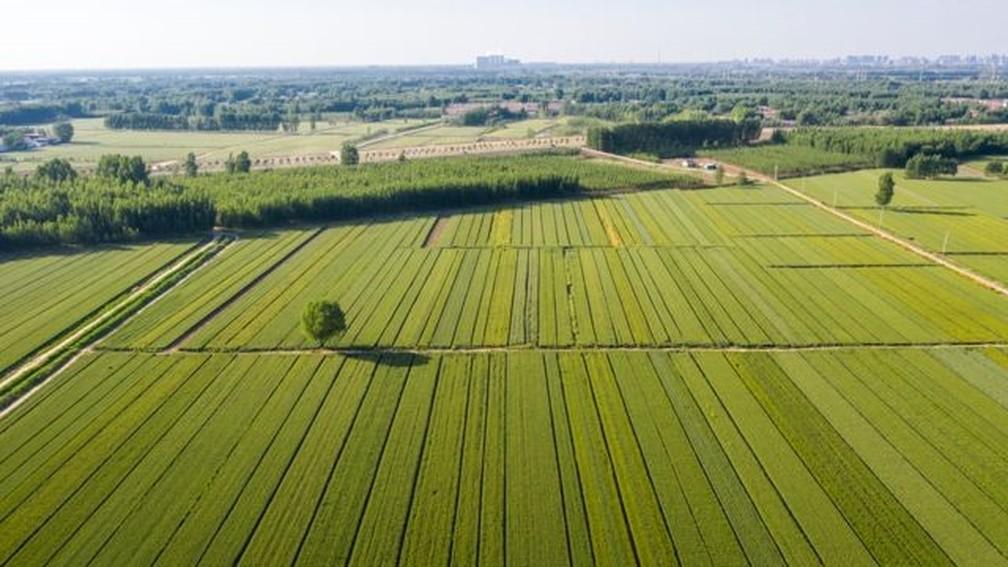 Campos de trigo ao longo do Rio Amarelo — o grande temor das nações localizadas rio abaixo é que a China ou a Índia desviem ou interfiram no curso da água com a construção de represas — Foto: Getty Images via BBC