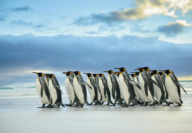 Pinguins-reis podem desaparecer devido ao aquecimento global. Animais precisam percorrer maiores distâncias para encontrar alimentos para seus filhotes (Foto: Thinkstock)