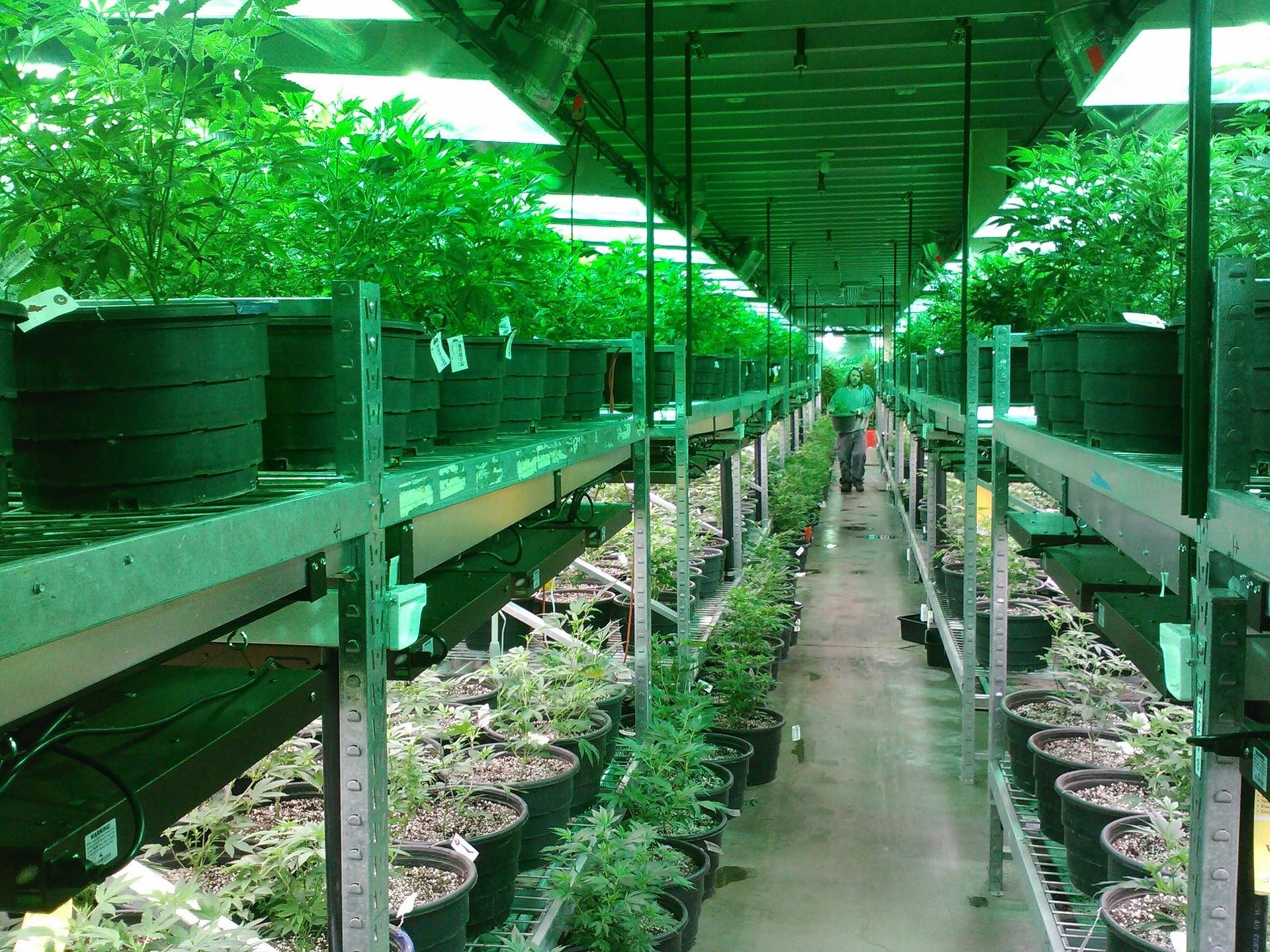 Cultivo legalizado de maconha (Foto: Pixabay)