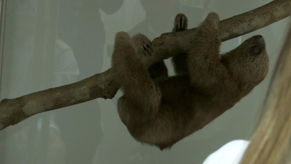 Filhotes de preguiça vivem grudados às mães até os seis meses de idade.  — Foto: Rede Amazônica/Reprodução