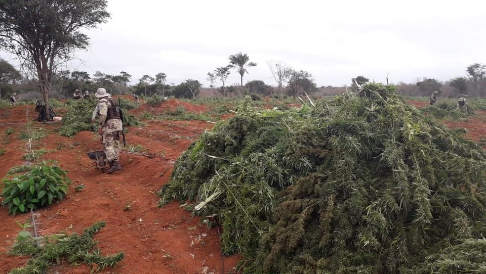 Plantação com quase 250 mil pés de maconha foi achado pela polícia em Iraquara, na Bahia — Foto: Divulgação/SSP-BA