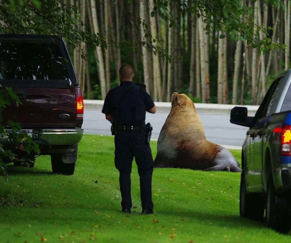 Leão-marinho ficou um tempo nos bosques para se acalmar (Foto: Roberta White/Sitka Volunteer Fire Department)