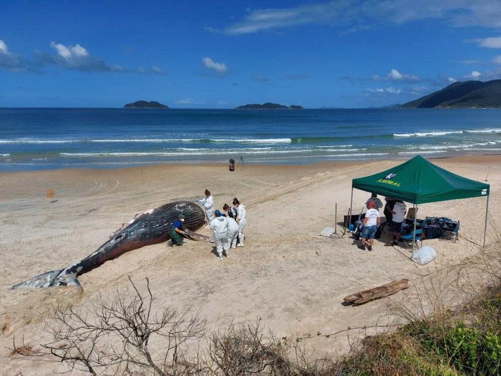 Biólogos, veterinários e voluntários em volta de corpo de baleia-jubarte na Praia do Pântano do Sul, em Florianópolis — Foto: Nilson Coelho/R3 Animal/Divulgação