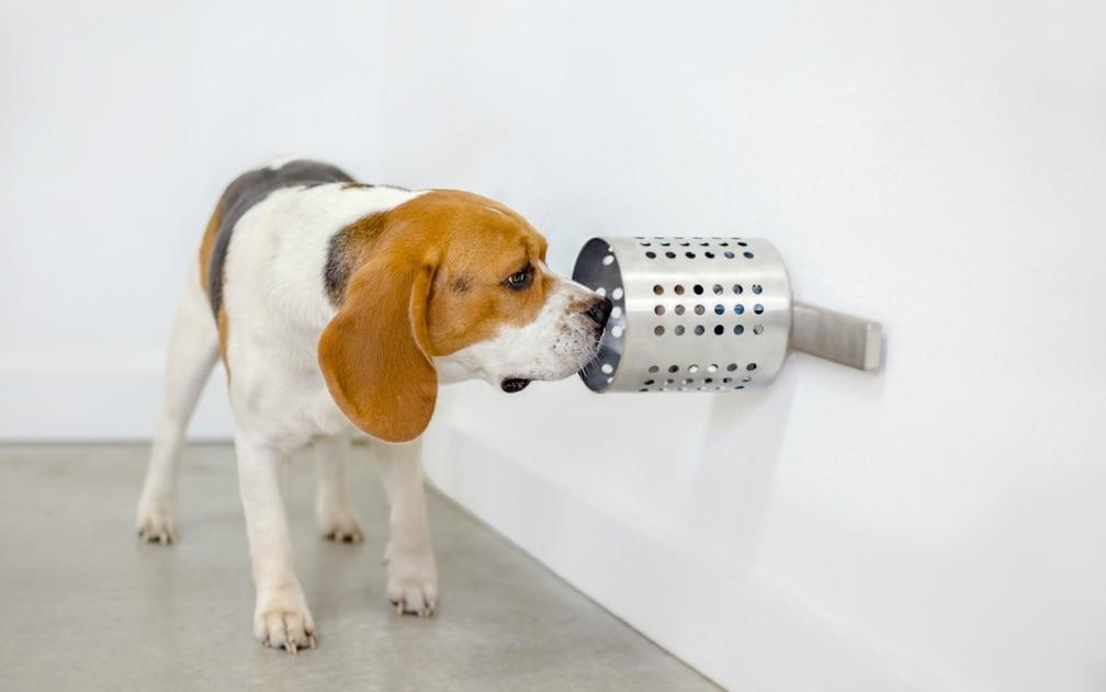 Cão da raça beagle fareja amostra durante pesquisa para identificação do câncer — Foto: BioScentDX/Divulgação