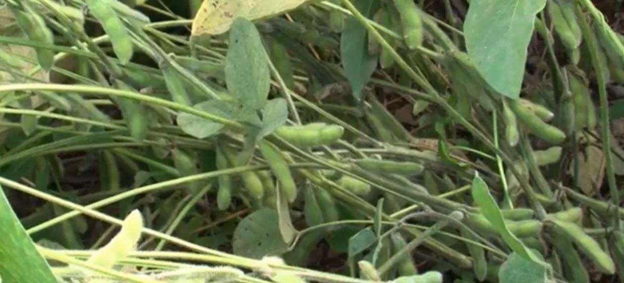 Chuva impacta de formas diferentes no agronegócio paranaense