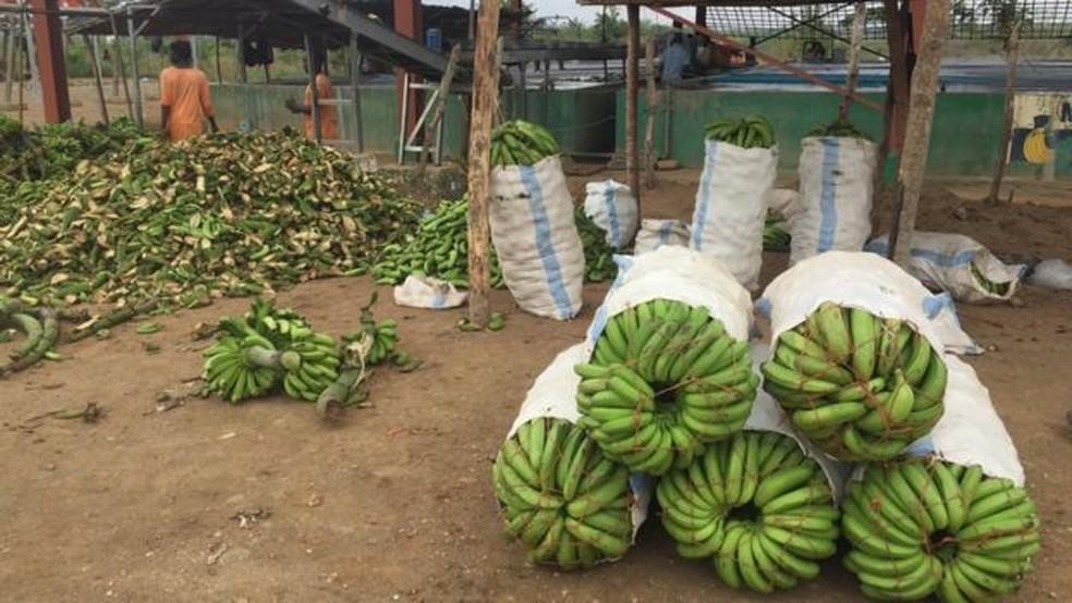 Dois terços dos funcionários da fazenda Matanuska foram demitidos por causa do avanço da doença (Foto: BBC)