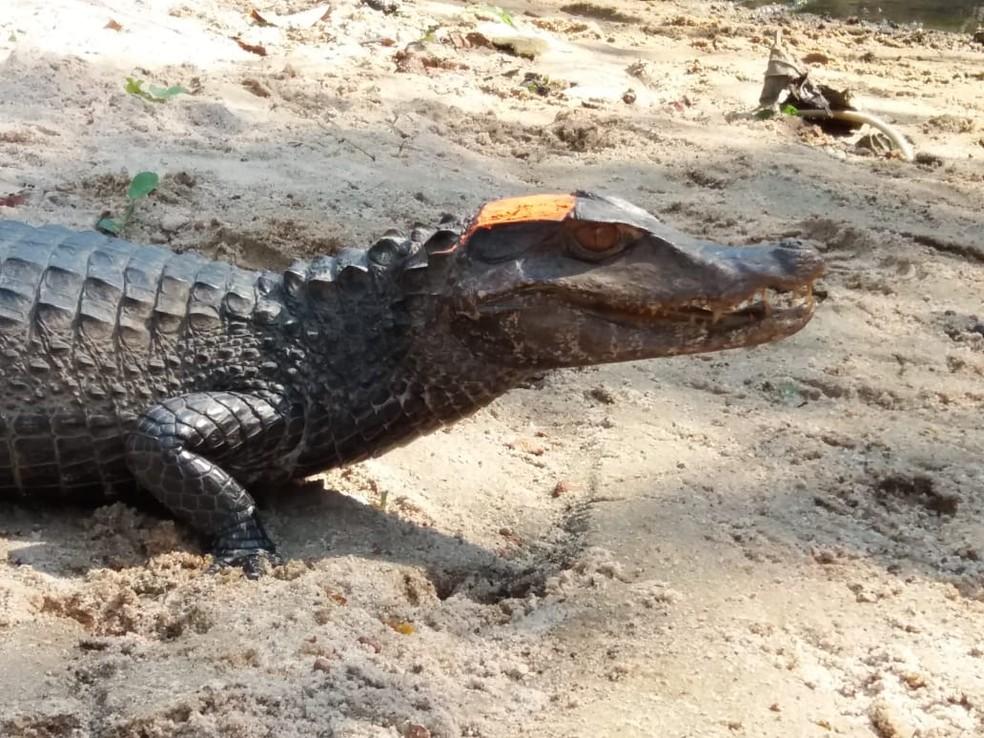 Adulto de jacaré-paguá (Paleosuchus palpebrosus) Manaus/AM. — Foto: Idamara