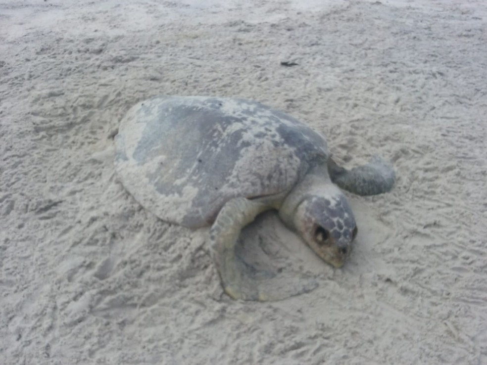 Olive turtle is found dead on a beach in southern Bahia - Photo: Projeto A-Mar