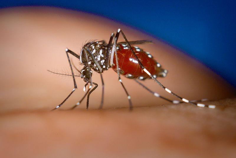 Vírus da Chikungunya é transmitido por mosquitos, como o Aedes albopictus (Foto: James Gathany, CDC/Wikimedia Commons)
