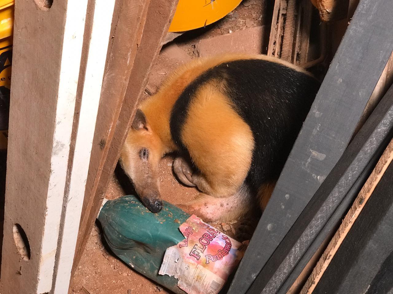Filhote de tamanduá-mirim é encontrado em cemitério de Paranavaí - Notícias - Plantão Diário