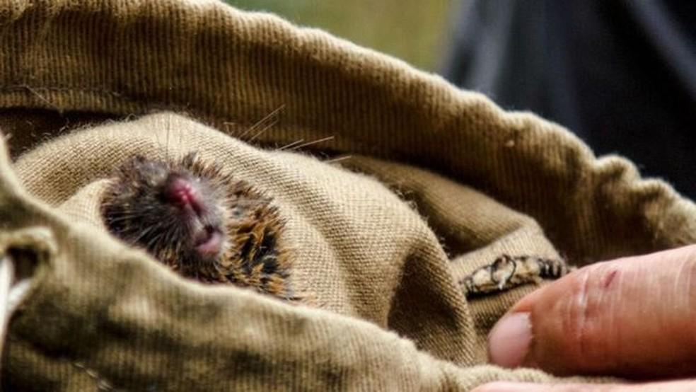 Roedor capturado pelo biólogo Alexandre Percequillo (Foto: BBC)