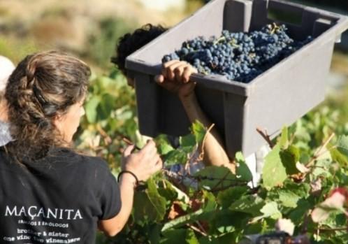 Colheita manual em vinhedo Maçanita