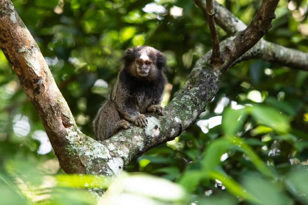 Sagui de tufos-pretos é espécie invasora em Santa Catarina — Foto: Celso Tavares/G1