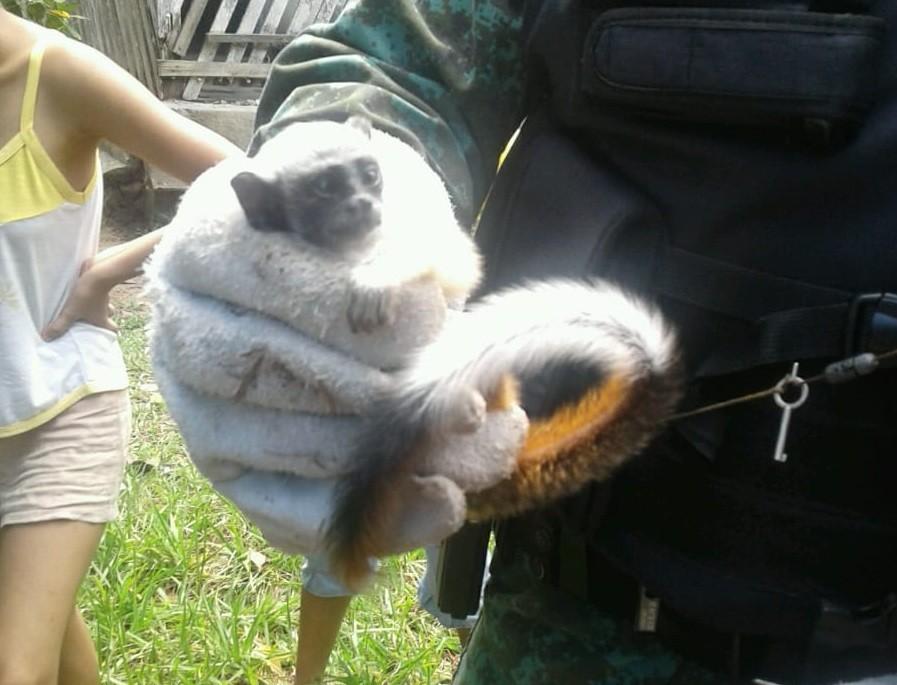 Macaco sauim-de-coleira é resgatado na Zona Centro-Sul de Manaus  - Notícias - Plantão Diário